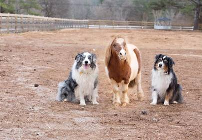 Lil Ben the Miniature Horse Finds Love In A Lonely Place