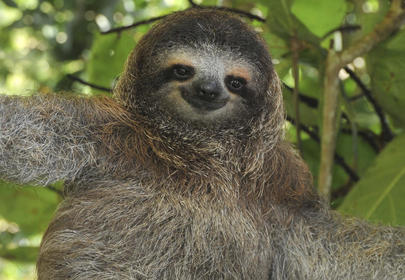 Sloth Commits B&E In Search of Snacks, Gets Busted