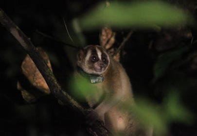 Two Slow Lorises Rescued and Returned to the Wild