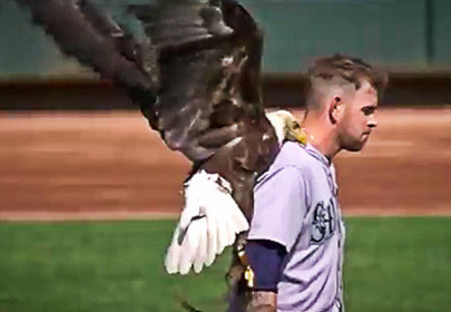 Bald Eagle Lands on Pitcher James Paxton During Major Leagues Game