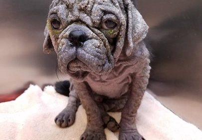 Neglected Hairless Pug Rescued, Healed & Transformed