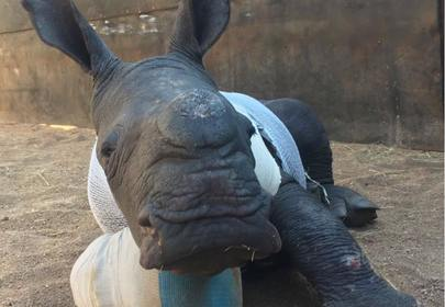 Baby Rhino Tries Bravely Tries To Save Mom From Poachers