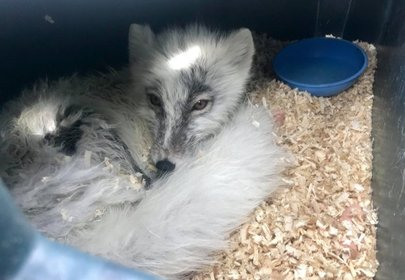 Canadians Save Arctic Fox in Tense Rescue Mission