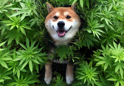 Marijuana For Your Dog? The Rise of Cannabis Pet Products