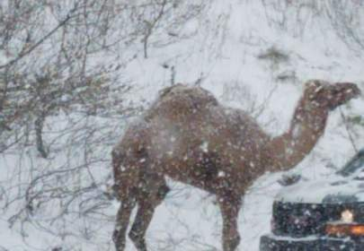 Camel Wandering Down Highway During Snowstorm Sparks Confusion, Hilarity Ensues