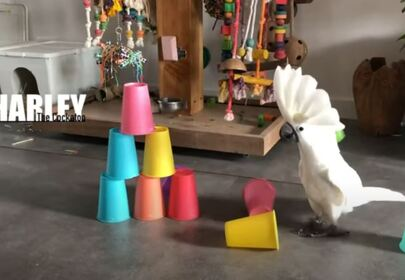 Harley the Cockatoo Terrorizes Table Settings Daily