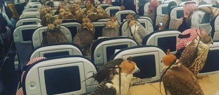 How do 80 Pet Falcons of a Saudi Prince Fly? By Booking Them All Plane Tickets of Course!
