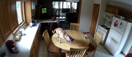 Dog Busted Stealing Food on a Nest Cam