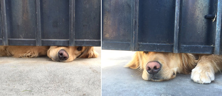 A Gate Can't Stop Puppy Love: The Viral Story of Elisa and Ralph the Retriever