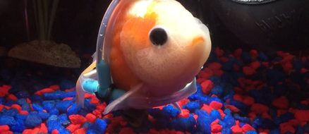 Goldfish Needs Help Swimming, gets Tiny Custom Wheelchair