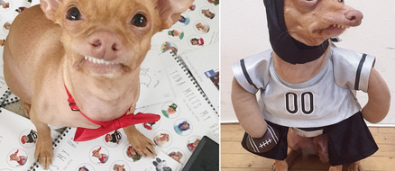Tuna the Chiweenie Has a Line of Merchandise, Modeling Contracts, and a Book Deal