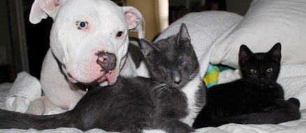 Rescue Pit Bull Mom Adopting 3 Blind Kittens Is the Only Thing You Need to See Today