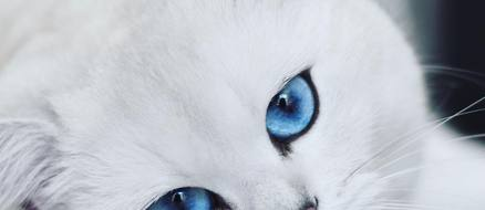 Coby the Cat with Piercing Blue Eyes, over 1 Million Followers, and Sponsorship Deals