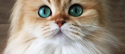 Smoothie Titled the Prettiest Cat on the Internet is a Real Life 'Puss n Boots'