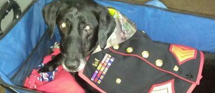Hero Doggo: US Marine Cena served 3 tours in Afghanistan, gets tearful sendoff after terminal cancer