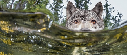 "Check out these badass ""sea wolves"" that hunt underwater"