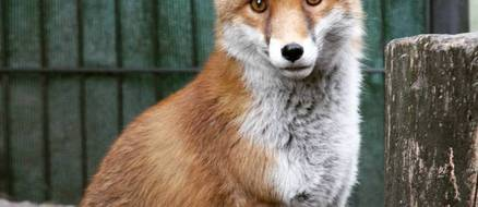 Chester the handicapable fox is scarred but beautiful