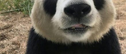 Can China save the pandas?
