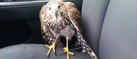 Lucky hawk catches cab to escape Hurricane Harvey