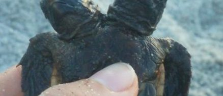 Rare two-headed turtle discovered in Florida