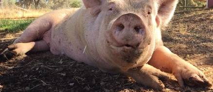 Rescued hog Wilbur and wild squirrel find love in a pig sty