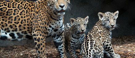 Twin jaguar cubs born at Houston Zoo, too cute for words!