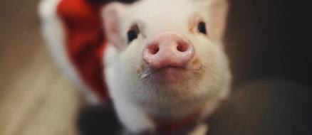 This piglet will warm your cold, icy hearts