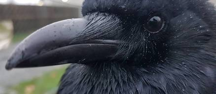 Canuck the Crow causes havoc on Canadian West Coast