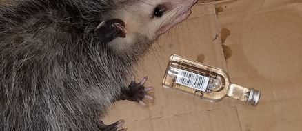Party possum commits B&E, hits the sauce and gets arrested.