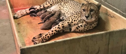 8 Cheetah Cubs Born to St Louis Zoo in Remarkable Birth