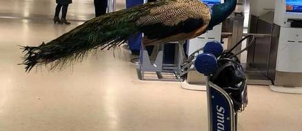 Controversy over United Airlines Banning an Emotional Support Peacock