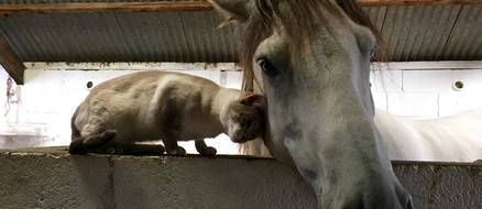 Unlikely Animal Friendships: Comet the Pony and Louis the Siamese Cat