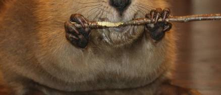 Baby beaver makes himself feel at home (by building one out of toys)