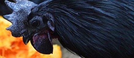 Goth Chickens: Enchanted or going through a 'phase'?