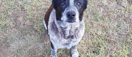 Very Good Boy Saves 3-Year-Old From Australian Wilderness