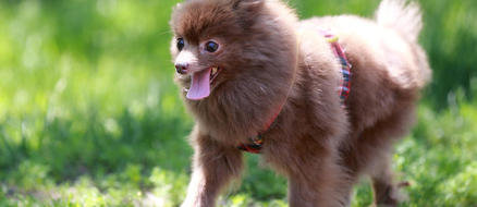 Rescued Pomeranian Found Abandoned & Zipped Into a Backpack, Barely Survives