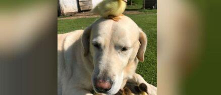 Dog Adopts Nine Duckling Orphans