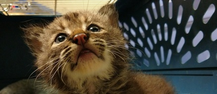 Man rescues a kitten, discovers it's a baby bobcat
