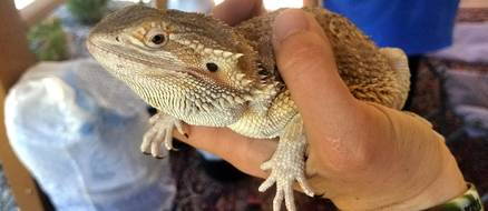 Couple Finds Bearded Dragon In Their Walmart Delivery Box