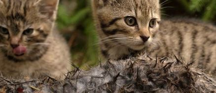 2 Scottish Wildcats AKA The Rarest Kittens In The World Rescued