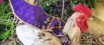 Chicken Fashion: Diapers, Saddles, & Tutu's for Poultry
