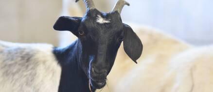 Jon Stewart Saves Baby Goats Trapped on New York Subway Line