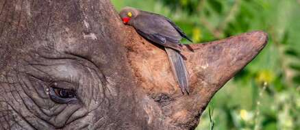 2 Unlikely Friends - A Red-Billed Bird and a Black Rhino