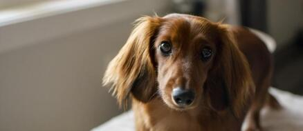 Dachshund Saves Neighbors From House Fire