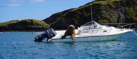 """A Huge Walrus Hitches a Ride """"I'm On A Boat!"""""""