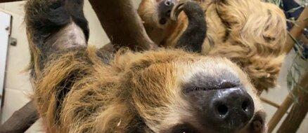 Pregnant Sloth at Cincinnati Zoo Gets Stuffed Animal to Prep for Motherhood