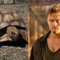 Leonardo DiCaprio's pet A Sulcata Tortoise