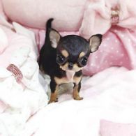 Paris Hilton's pet Diamond Baby