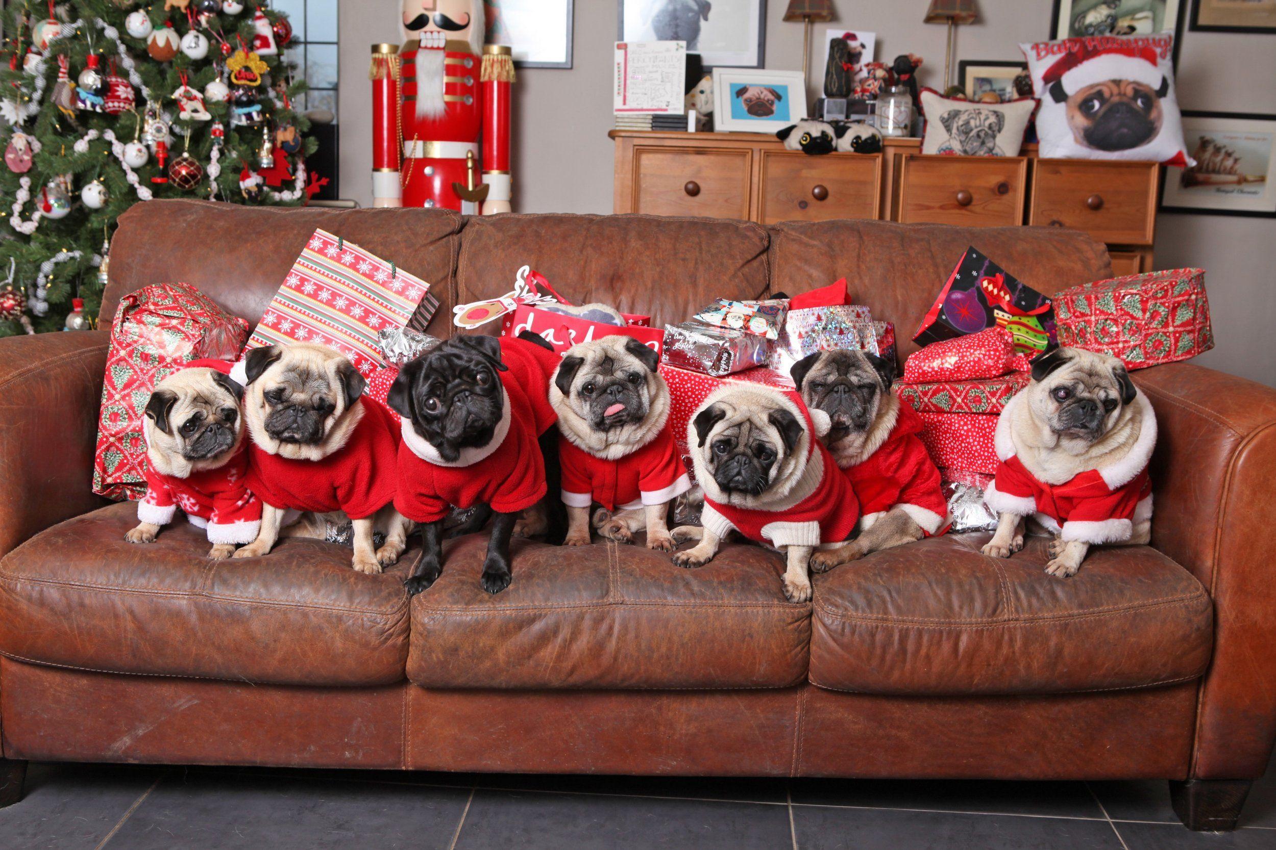 Pugs on Christmas