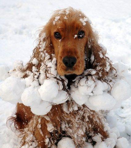 Dog Snowball